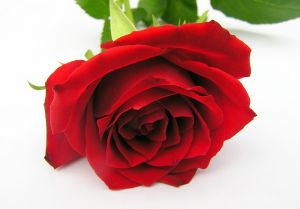 red-roses-808605-m